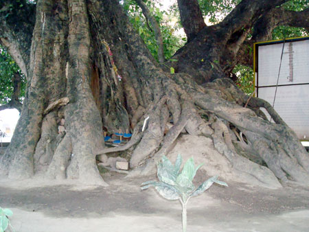 Roots of the holy Pipal Tree can also be seen above the ground even today