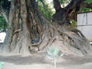 Roots of the holy pipal tree many feets above the ground